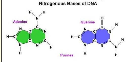 adenine nitrogen bases